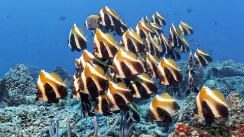 Phantom Wimpelfische im Indischen Ozean