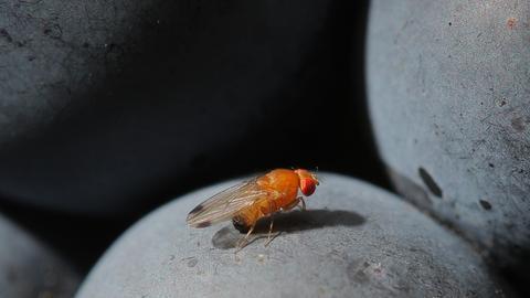 Eine Kirschessigfliege sitzt  auf einer Traube