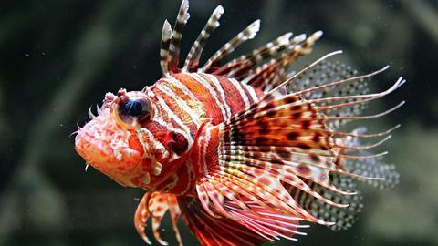 Ein Rotfeuerfisch