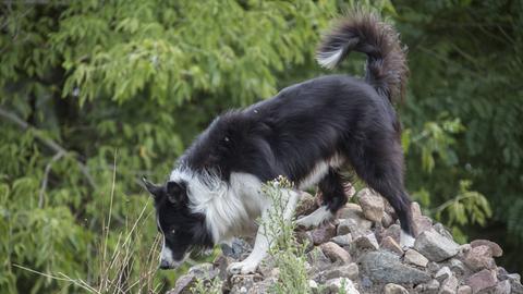 Ein Spürhund im Einsatz