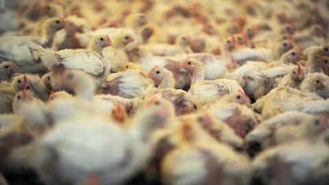 Hühner in einer großen Mastanlage