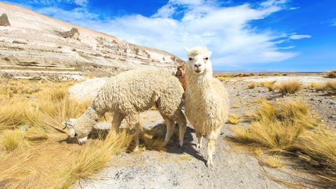 Alpakas in den Anden