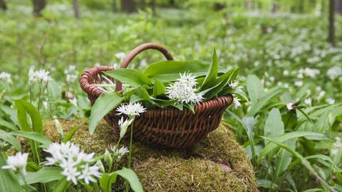 Wilder Bärlauch in einem dunkelbrauenen Weidenkorb auf einem Stein im Wald.