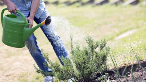 Eine Person gießt eine Rosmarin-Pflanze