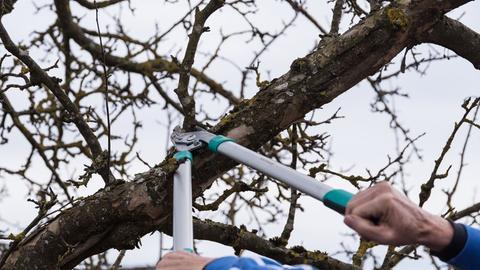 Ein kahlter Obstbaum wird beschnitten.