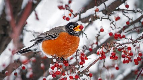 Ein Vogel sitzt auf einem schneebedeckten Ast und hat eine rote Vogelbeere im Schnabel.