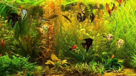 Fische schwimmen in einem Aquarium.