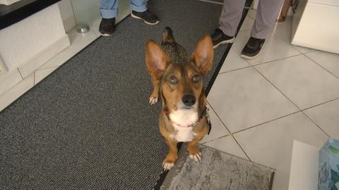 Ein Hund mit aufgestellten Ohren schaut in die Kamera.