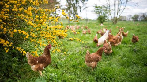 Hühner auf dem Dottenfelder Hof