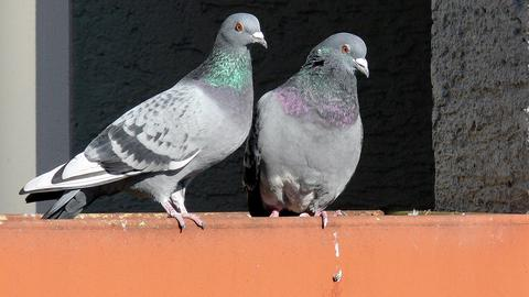 Zwei Tauben auf einem Balkon.