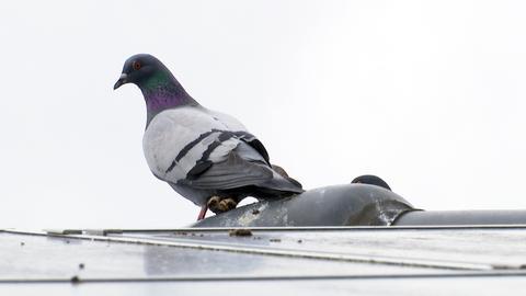 Taube auf dem Dach mit Taubenkot