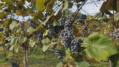 Dunkle Weintrauber an einer Weinrebe.