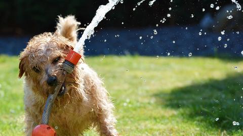 Hund spielt mit laufendem Wasserschlauch