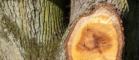 Jahresringe in einem Baumstamm