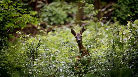 Ein Reh schaut überrascht in die Kamera - drumherum Wald.
