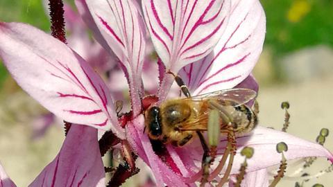 Honigbiene im Botanischen Garten Frankfurt beim Bestäuben einer Blume.