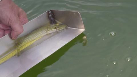 """""""Angebissen"""" - Bestandsaufnahme der Fische im Edersee"""