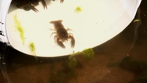 Ein burgwälder Edelkrebs in einem Eimer.