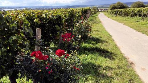 Erlebnis Hessen: Rheingauer Wein auf neuen Wegen