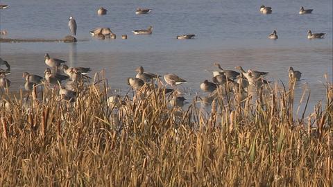 Vögel im Wasser mit Schilf im Vordergrund.