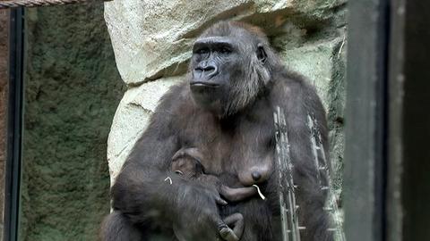 Das 14 Tage alte Gorillababy Xetsa im Frankfurter Zoo ist endlich wieder zurück bei der Mama.