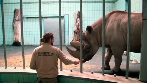 Nashornbulle Kalusho aus dem Frankfurter Zoo und Pfleger Benjamin Schröder kennen sich seit Jahren.