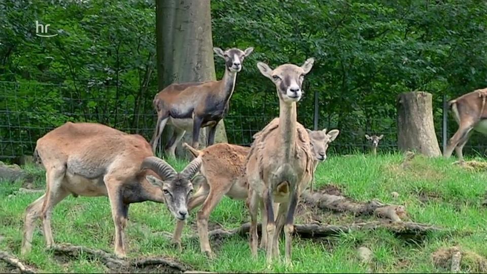 Video: Giraffe, Erdmännchen & Co. (148) | hr-fernsehen.de ...