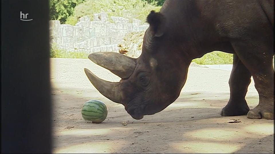 Video: Giraffe, Erdmännchen & Co. (230) | hr-fernsehen.de ...