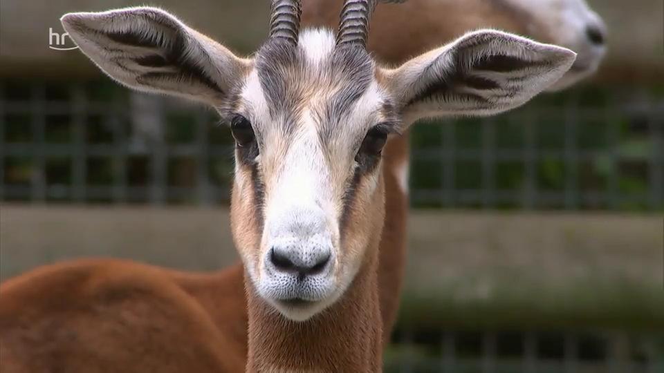 Video: Giraffe, Erdmännchen & Co. (298) | hr-fernsehen.de ...