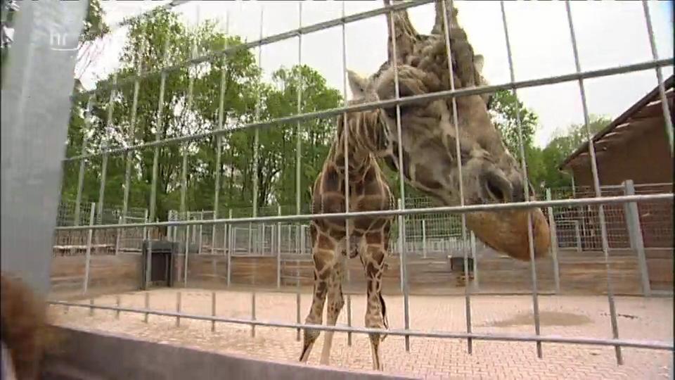 Video: Giraffe, Erdmännchen & Co. (53) | hr-fernsehen.de ...