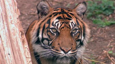 Tigerin Malea im Frankfurter Zoo.