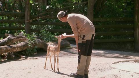 Mhorr-Gazellenbaby Emma mit Pfleger Patrick Waymon im Frankfurter Zoo.