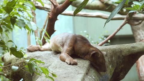Fossa beim Mittagsschläfchen im Frankfurter Zoo. Das größte Raubtier Madagaskars, die Fossa, ist nur sehr selten in Zoos zu sehen.