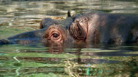 Flusspferd Max ahnt, dass irgendetwas im Gange ist.