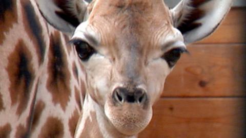 Das Giraffenjunge Martin ist nun alt genug für die Savannen-Anlage im Opel-Zoo.