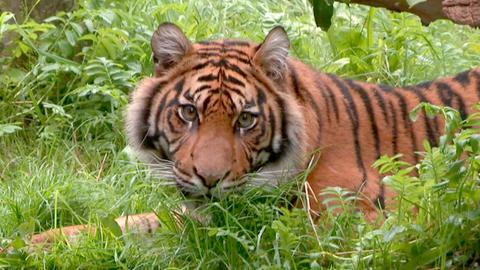 Tigerin Berani lebt jetzt im Augsburger Zoo.