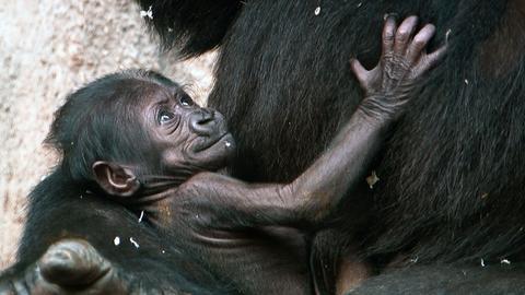 Dians Gorillababy im Frankfurter Zoo ist erst wenige Tage alt.