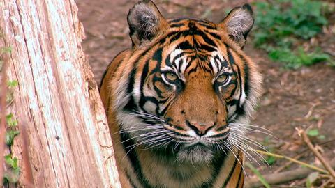Tigerin Malea im Zoo Frankfurt.