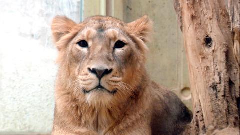 Löwin Zarina soll in den Frankfurter Zoo umziehen.