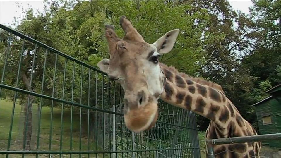 Video: Giraffe, Erdmännchen & Co. (171) | hr-fernsehen.de ...