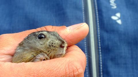 Lemming in der Hand