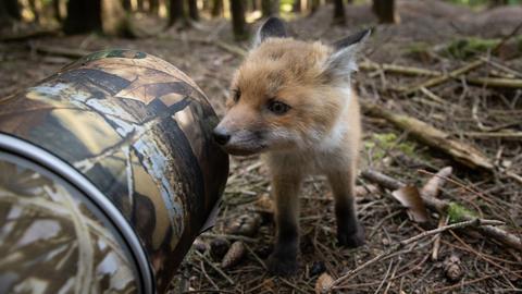 Ein kleiner Fuchswelpe im Wald schnüffelt an einem Gegenstand.