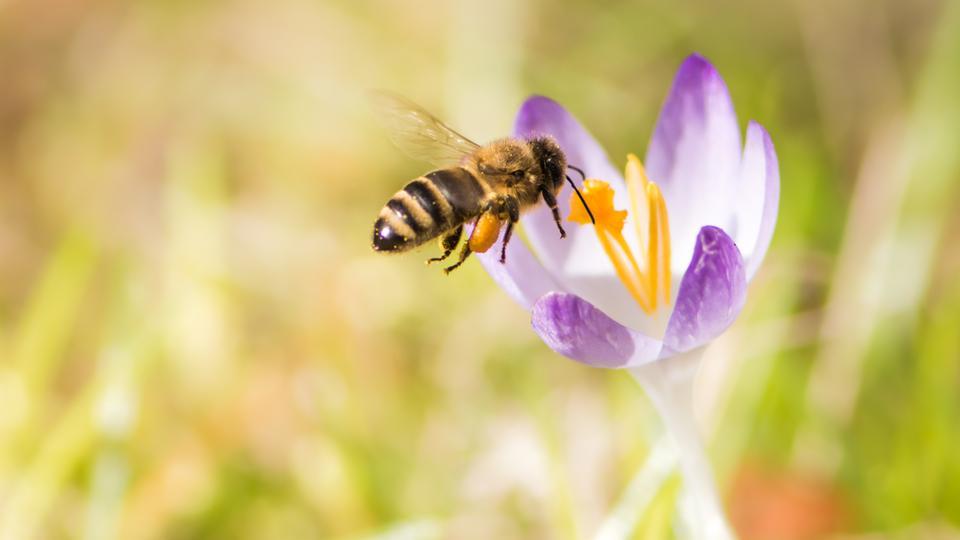 Biene in einer Blume