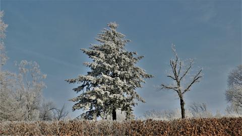 Ein vereister Nadelbaum mit einem vereisten Gebüsch im Vordergrund.