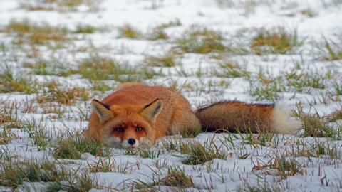 Ein Fuchs im Schnee.