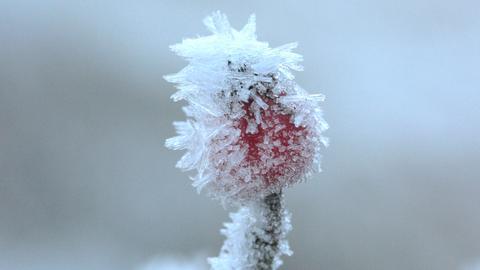 Nahaufnahme einer zugefrorenen Hagebutte.