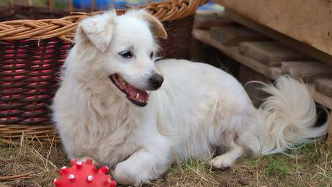 Hund Doolittle