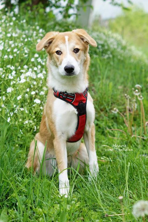 Hund Henry