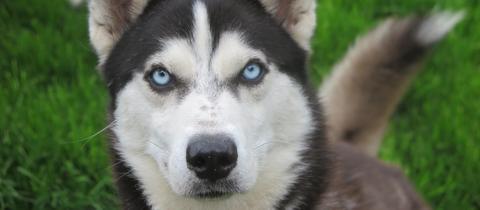Hund Kody
