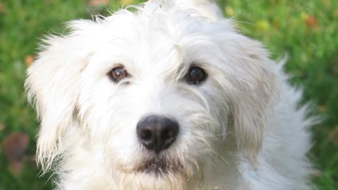 Hund Blanche